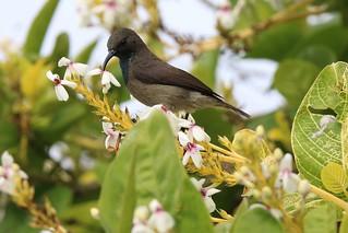 塞席爾太陽鳥(Seychelles Sunbird)