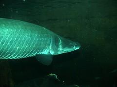 Arapaima (sctag1015) Tags: fz50 neworleans audubonaquarium arapaima aquarium