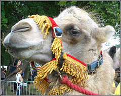 That Inquisitive Camel Again .. (** Janets Photos **) Tags: uk publicparks hull camels events shows wow