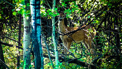 Assiniboine Park - September 14, 2016 15-40-30 (DerboPhoto) Tags: assiniboinepark deer doe beautiful 204 winnipeg manitoba canada derbophoto forest