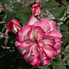 Another beauty ... with buds (idunbarreid) Tags: roses