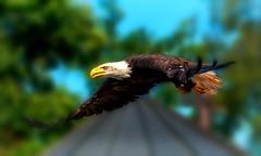 Eagle (Delbrücker) Tags: eagle adler animal tier nature natur nikond610 nikkor 70200mm 28 outdoor