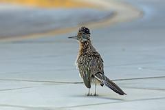 Greater Roadrunner, Indio, Riverside, California (Terathopius) Tags: riversidecounty california usa greaterroadrunner geococcyxcalifornianus indio