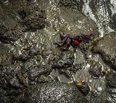 Mr. Crabs (simon.eggert) Tags: fuerteventura canary islands island ocean sea beach stones sand water sky crab summer spain el cotillo la oliva august holiday canon 600d nature