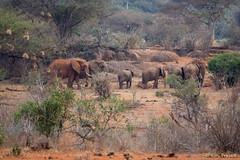 Elephant Hangout, Close up (Roy Prasad) Tags: kenya africa safari nairobi prasad royprasad travel tsavo animal wildlife elephant sony rx10 rx10m3 rx10iii