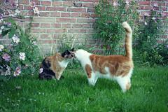 boop (Chantal van der Ende-Appel) Tags: cat willem domino churchyard home