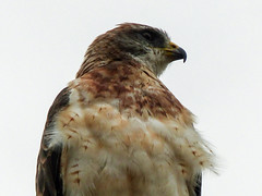 Swainson's Hawk male, light phase (annkelliott) Tags: calgary alberta canada nature ornithology avian bird birds birdofprey raptor hawk swainsonshawk buteoswainsoni accipitridae male lightphase mateisdarkphase feathers frontsideview perched streetlight closeup outdoor summer 28august2016 fz200 fz2004 annkelliott anneelliott anneelliott2016 allrightsreserved