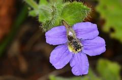 Native bee (jeans_Photos) Tags: greenmounthillfred leioproctusandrenopsisdouglasiellus threatened hymenoptera nativebee 5november2011 scaevolacalliptera