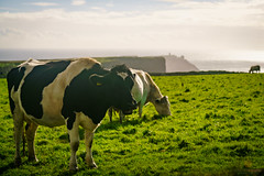 Cow Smiling at the Cliffs of Moher (inferno10) Tags: countyclare ireland ie galway travel landscape europe international nature