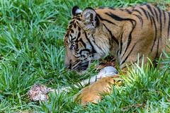 Suka (ToddLahman) Tags: suka sumatrantiger sandiegozoosafaripark safaripark canon7dmkii canon canon100400 tigers tiger tigertrail tigercub teddy joanne escondido