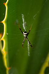 (Luurankorotsi) Tags: pura ulun danu beratan baturiti kabupaten tabanan bali indonesia spider indonesian net web spiderweb spiders creepy crawling