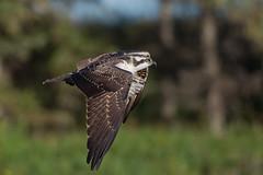Osprey (Len Steil) Tags: canon 1d4 1dmarkiv birdsofalberta birding bird birdsinflight osprey