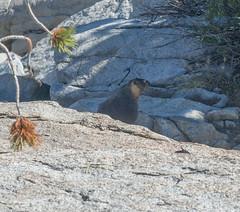 Marmot (deanwampler) Tags: sierras anseladamswilderness jmt johnmuirtrail