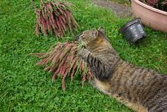 Jonas in Aktion (ute_hartmann) Tags: jonas kater katze cat heide garten gras