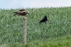 "Red Kite & Raven May 2016 ""An Encounter"". (3) (jgsnow) Tags: ravenredkite bird raptor redkite raven corvid conflict"
