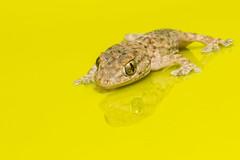 Salamanquesa en un cubo. (Rafa Velazquez) Tags: gecko lizard macro canon eos70d canon100mm salamanquesa lagarto amarillo