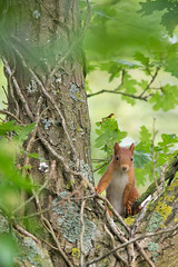 Young red squirrel (Richard Holding) Tags: animal eure normandie portmort redsquirrel roux squirrel cureuil