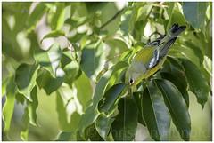 northern parula (Christian Hunold) Tags: northernparula woodwarbler warbler songbird bird meisenwaldsnger johnheinznwr philadelphia christianhunold