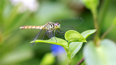 Dragonfly on the Leaf (Johnnie Shene Photography(Thanks, 1Million+ Views)) Tags: dragonfly hemiptera perching resting macro closeup magnified adjustment fulllength depthoffield odonata anisoptera nature natural wild wildlife livingorganism tranquility tranquilscene animal lighteffect insect bug photography horizontal outdoor colourimage fragility freshness nopeople foregroundfocus spreadwings limbs summer day leaf highangle single interesting awe wonder bizarre canon eos600d rebelt3i kissx5 tamron 90mm f28 11 lens