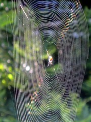 Spider web (Ruth and Dave) Tags: green spider web cobweb