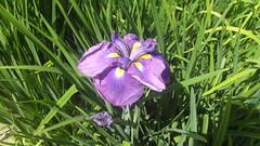 Blue Iris (tedesco57) Tags: uk flowers west home garden sussex wakehurst place arboretum walled stately ardingly