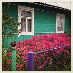 Flowers (denisperekhrest) Tags: flowers red house noflash belarus makebeautiful iphoneography hipstamatic janelens inas1982film