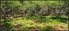 Northern Forest Mossy Ferns (Tim Noonan) Tags: digital texture forest seges canadiansheild bog mineral aquifer peat clubmoss fern moist light yellow green ontario lakesuperior shadow silverislet lycopodiella shinnyclubmoss awardtree nature witchsflour tistheseason art woods thegalaxy shockofthenew sotn vividimagination digitalartscene digitalartscenepro digi tim maxfudgeexcellence maxfudge exoticimage hypothetical netartii maxfudgeawardandexcellencegroup mosca sharingart newreality shining