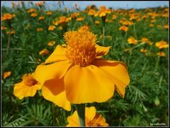 Wat een mooie dag (mefeather) Tags: flowers summer sky orange colour nature landscape nederland thenetherlands natuur pieterpad zomer lucht bloemen oranje limburg landschap tagetes kleur afrikaantje nederlandvandaag zuidnoord venloswolgen