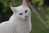 Gato Branco (Esli LeaL) Tags: pet white branco cat gato whitecat miau gatobranco
