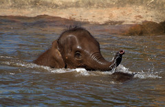 Having fun in the pool (Nature Through A Lens) Tags: baby elephant water pool trunk splash