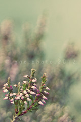 it was just a dream (ggcphoto) Tags: flowers summer blur macro green nature grass vintage sony summertime bookcover sonyalpha ggcphoto gettyimagesirelandq12012 possibelbookcover