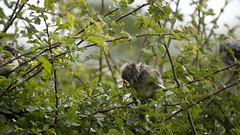 juvenile sparrows in a hedge (RCB4J) Tags: wild nature birds garden scotland scratch itch fantasticnature sigma150500mmf563dgoshsm sonyslta77v ronniebarron rcb4j