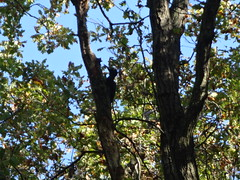 Schwarzspecht (dryocopus martius) Park Rotehorn in 39114 Magdeburg (Bergfels) Tags: fauna aves magdeburg specht tier vogel dryocopusmartius piciformes picidae rotehorn 39114 rotehornpark picinae schwarzspecht bergfels höhlenbrüter ungefährdet ostelbisch dendrococpos