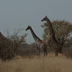 Giraffes/Kameelperden Etosha (Roelie Wilms) Tags: mating giraffe namibia etosha namibi kameelperd elementsorganizer namibi2012 matinggiraffes kameelperden