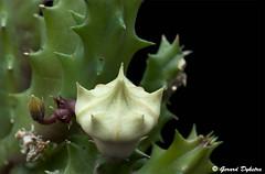 Huernia zebrina (G-D-F) Tags: red cactus plants flower green nature cacti succulent nikon blossom stapelia 105mm asclepiadaceae succulenta huernia
