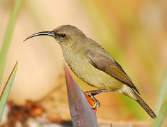 Greater double-collared sunbird (anacm.silva) Tags: africa wild bird nature birds southafrica wildlife natureza ngc aves ave sunbird frica watervalboven fricadosul greaterdoublecollaredsunbird cinnyrisafer mygearandme