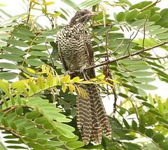The Asian Koel(female) (Raghuvir solanki) Tags: allofnatureswildlifelevel1 allofnatureswildlifelevel2 allofnatureswildlifelevel3 koyal30812