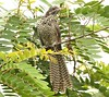 The Asian Koel(female) (Raghuvir solanki) Tags: allofnatureswildlifelevel1 allofnatureswildlifelevel2 allofnatureswildlifelevel3 koyal30812