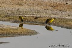 KUWAIT BIRDS (39) (pradeepvc27) Tags: kuwait ahmadi jahraeastbirdsanctuary