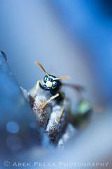 Blue Wasp (EmperorArek) Tags: blue macro yellow canon insect lens close wasp mark iii insects ups jacket 5d scared macros hiding wasps jackets osa arek mpe65 pelka