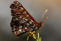 Bay Checkerspot Butterfly (Tōn) Tags: california ca macro nature closeup butterfly insect unitedstates lepidoptera bayarea animalia arthropoda sunol flyinginsect insecta euphydryas nymphalidae sunolregionalwilderness euphydryasedithabayensis baycheckerspotbutterfly eeditha eebayensis tonyvanlecom