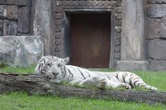 ME ABUUURRO (J. Reizábal) Tags: reizabal d7000 zoo nikkor70300mmvr bioparcfuengirola nikon tigre tiger animales animals tigreblanco whitetiger d7k jreizabal jreizabaljreizabal