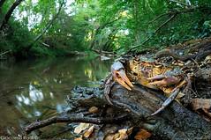 Potamon fluviatile - Granchio di fiume - European Freshwater Crab (Giacomo Radi) Tags: fiume crab siena crabs freshwatercrab torrente merse crostaceo potamon granchiodifiume luriano potamonfluviatile europeanfreshwatercrab