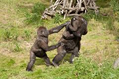 2012-09-13-12h06m36.272P2091 (A.J. Haverkamp) Tags: zoo rotterdam blijdorp gorilla dierentuin diergaardeblijdorp westelijkelaaglandgorilla nasibu tuena httpwwwdiergaardeblijdorpnl canonef100400mmf4556lisusmlens pobrotterdamthenetherlands pobfrankfurtgermany dob10042009 dob01042007 dob05122010 ayba