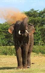 Warning (Sara-D) Tags: nature animals forest warning asia wildlife sl lanka elephants srilanka ceylon lk aliya maximus tusk wildanimals southasia atha elephasmaximus tusker sarad dustbath serendib elephas elephasmaximusmaximus saranga elephantcharge wildelephants dealwis sarangadeva