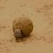 Bolas enormes carregadas pelos besouros