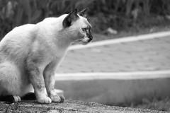 Cat Stare (teckhengwang) Tags: camera leica bridge lumix zoom super panasonic fz 18x fz35