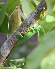 Male anole / Lagartijo macho / Anolis evermanni (Oquendo) Tags: animal fauna forest puerto rico bosque anole adjuntas lagartijo guilarte anol