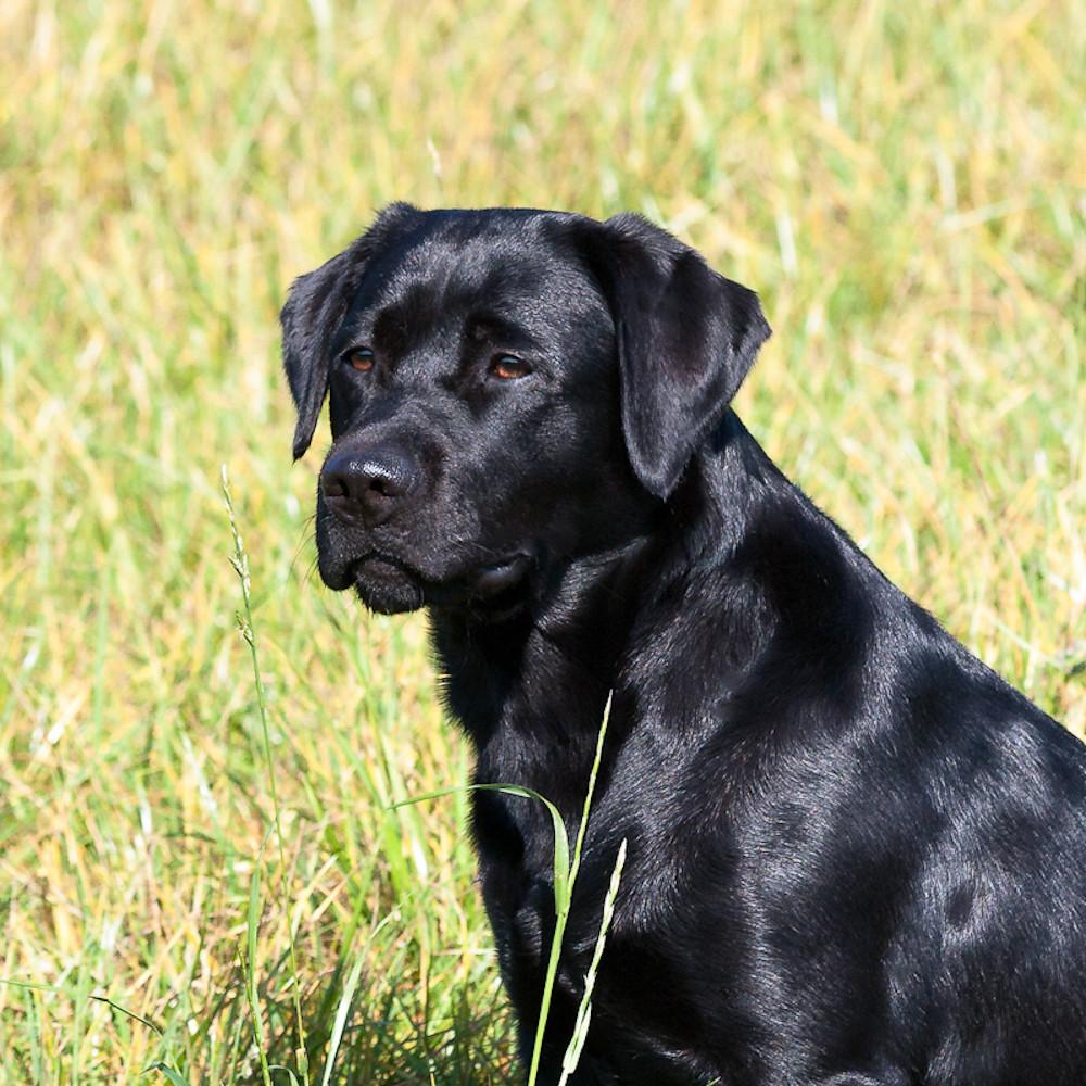 The World S Best Photos By Golden Retriever Labrador Flickr Hive