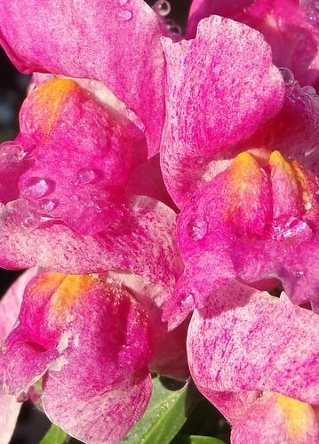 pink flowers flower macro southcarolina waterdrops snapdragons antirrhinum snapdragon plantaginaceae pickenscounty
